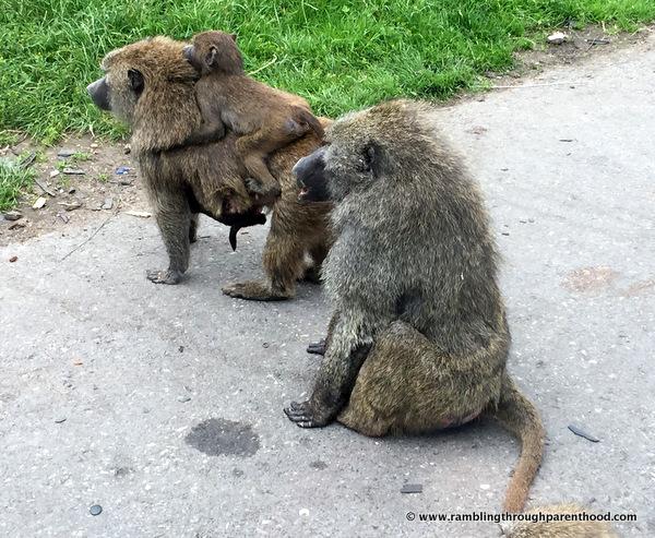 Monkeys at Knowsley Safari Park