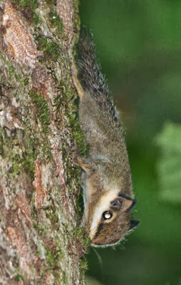 Black-eared Pygmy Squirrel (Nannosciurus melanotis)