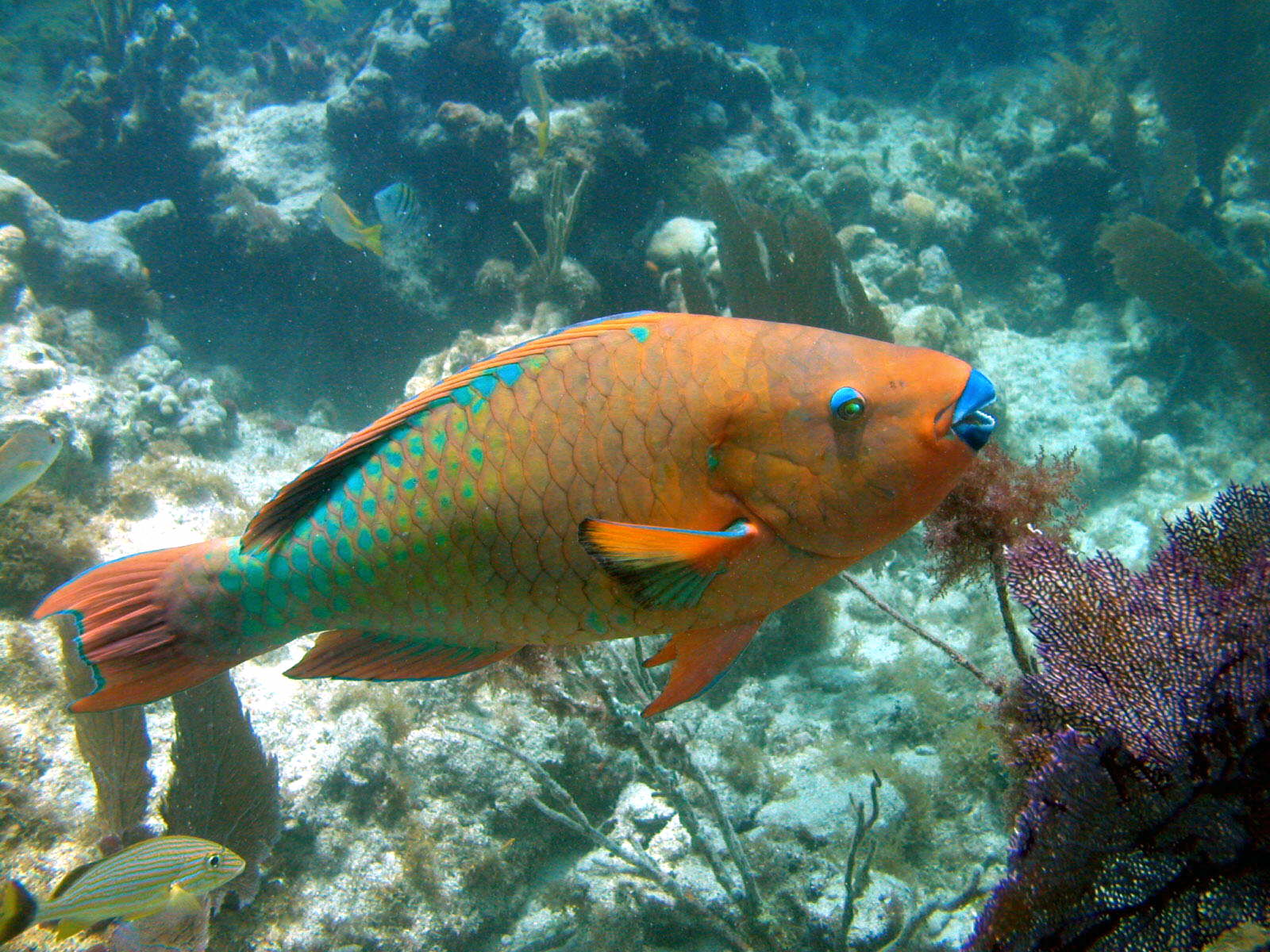 carmen powers rainbow parrotfish