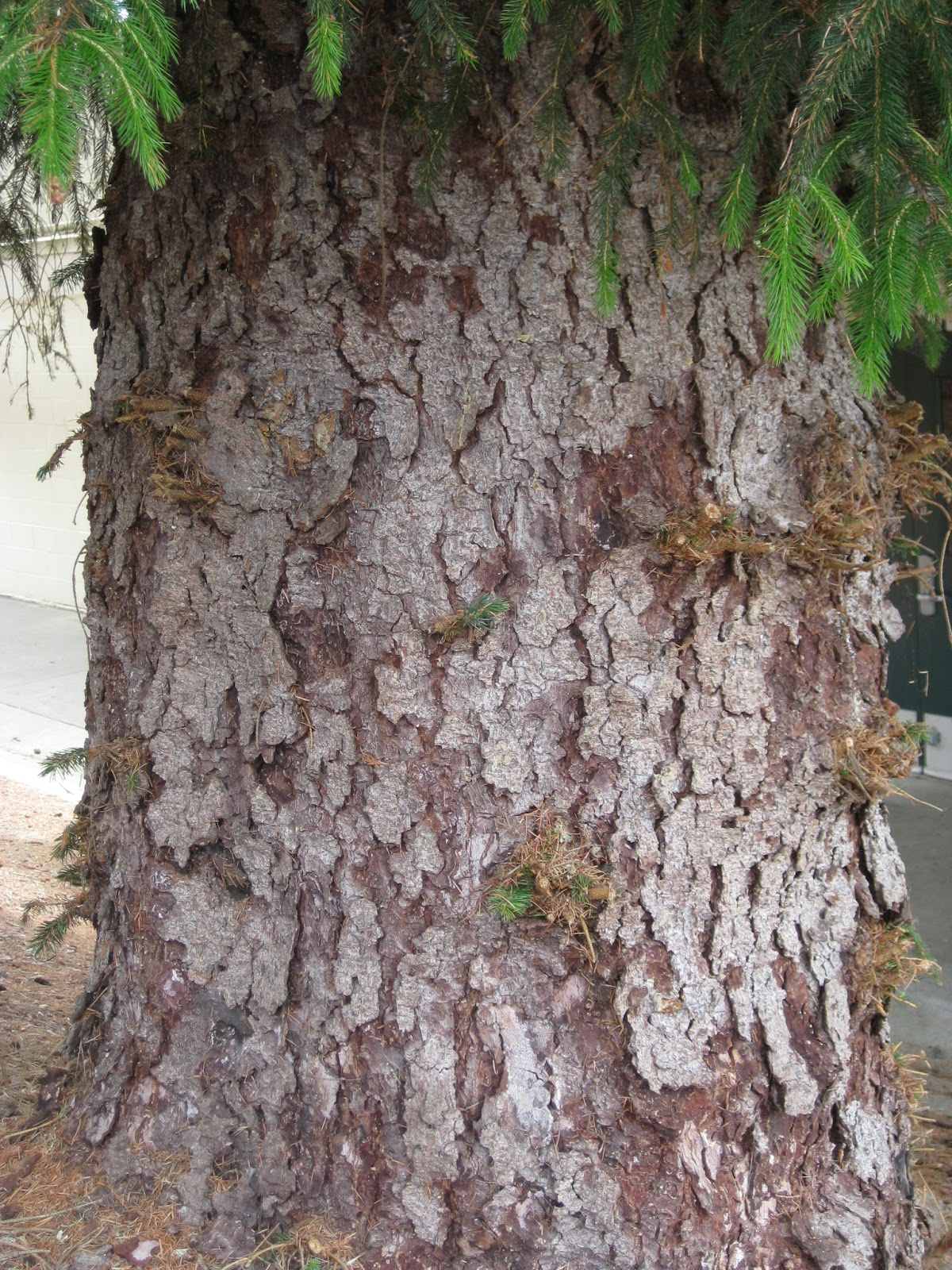 Trees of Santa Cruz County: Picea sitchensis - Sitka Spruce