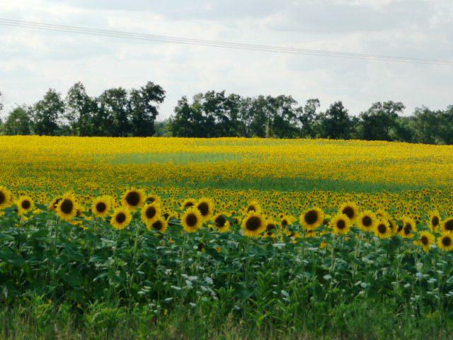 girassol anao de jardim:Sunflower Garden