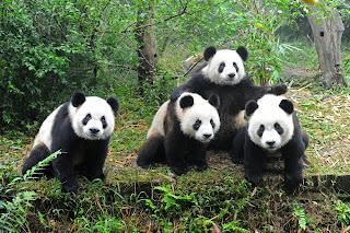 Panda, Giant Panda, Panda Animal http://stockphototops.blogspot.com/