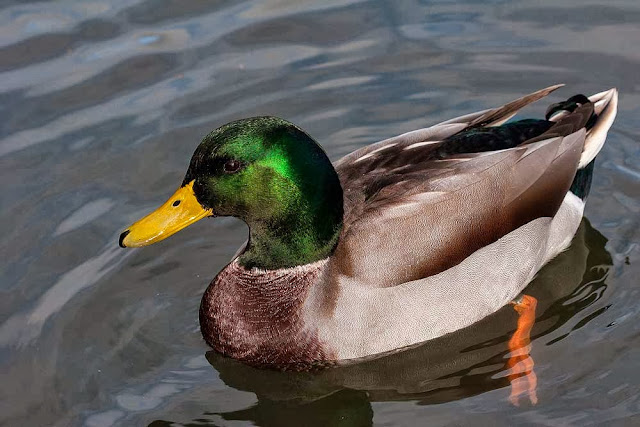Male Mallard (while feeding ducks)