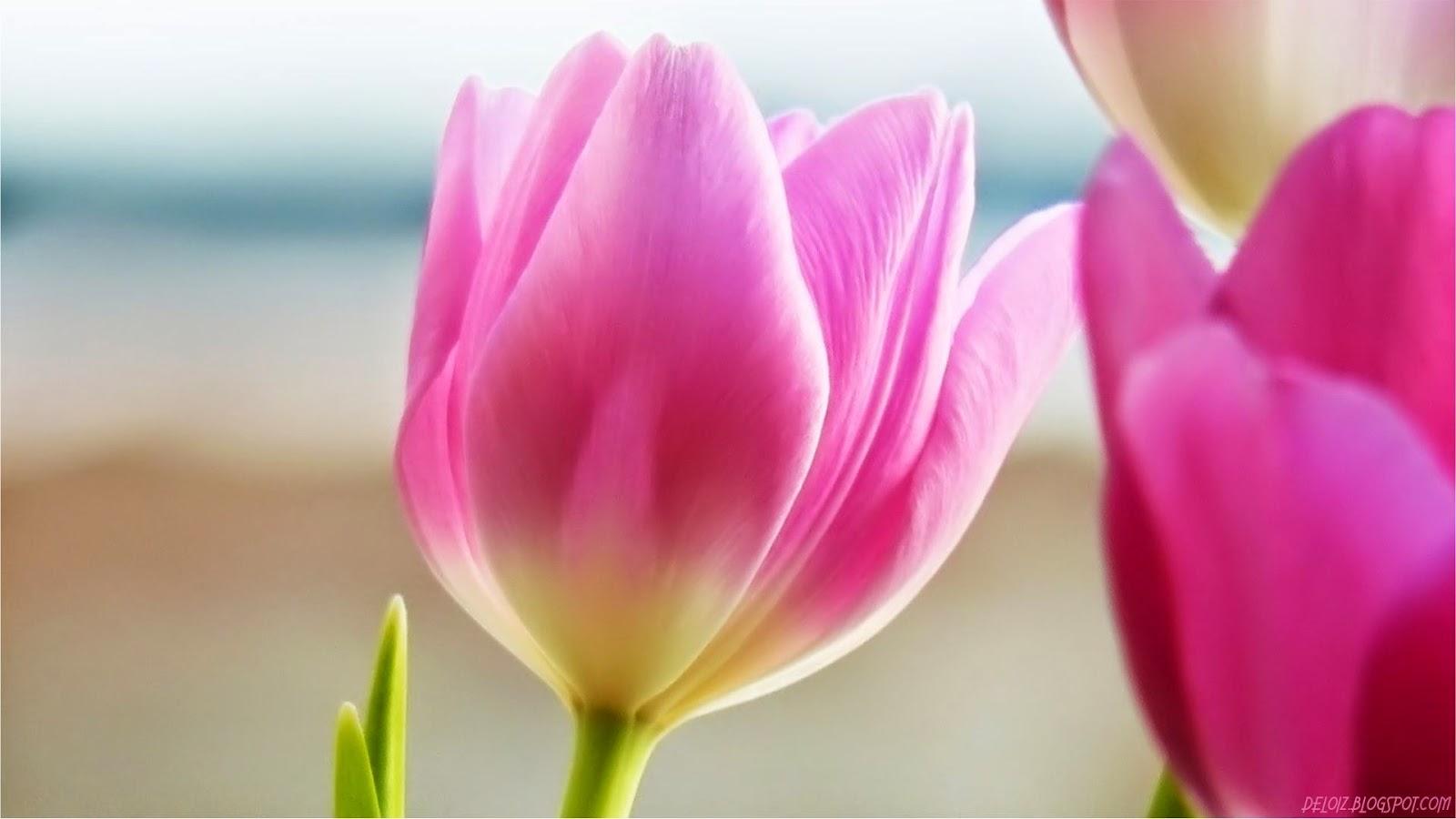 Trending Hari Ini Wallpaper Bunga Tulip Pink