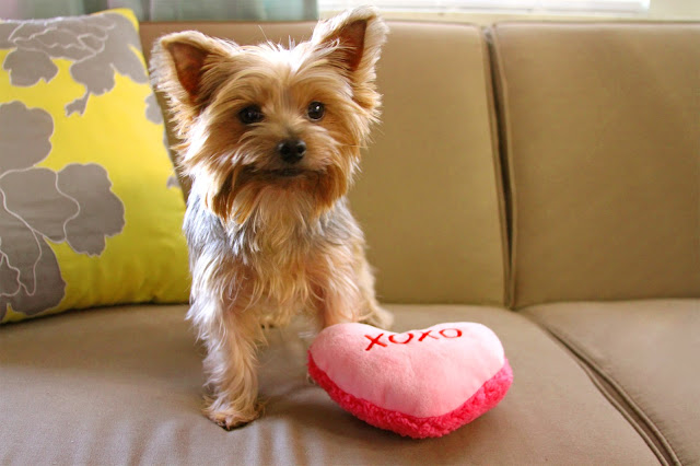 Happy Valentine's Day from this little Yorkie! | brewedtogether.com
