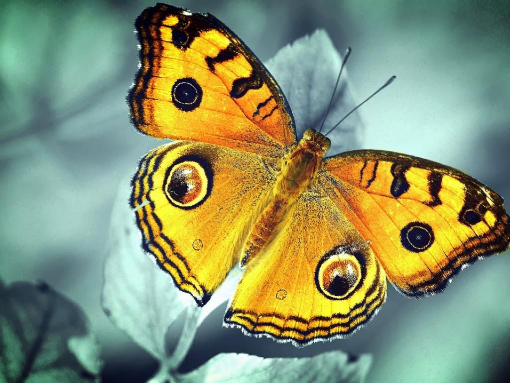 """<img src=""""http://4.bp.blogspot.com/-MesgJQ5M_Yg/UtrsRatxhVI/AAAAAAAAI7Q/ChTkObwpsAE/s1600/yellow-butterfly.jpeg"""" alt=""""yellow butterfly"""" />"""