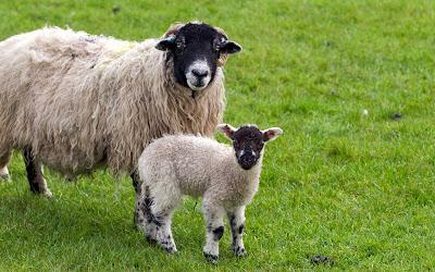 http://4.bp.blogspot.com/-MeuuE2_O_4c/TZiUAgpwaTI/AAAAAAAAEfQ/ymeRBieyXAQ/s1600/sheep.jpg