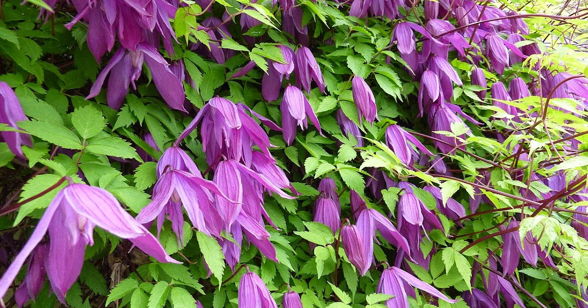 Arte y jardiner a dise o de jardines clematis for Diseno de jardines 3d 7 0 keygen