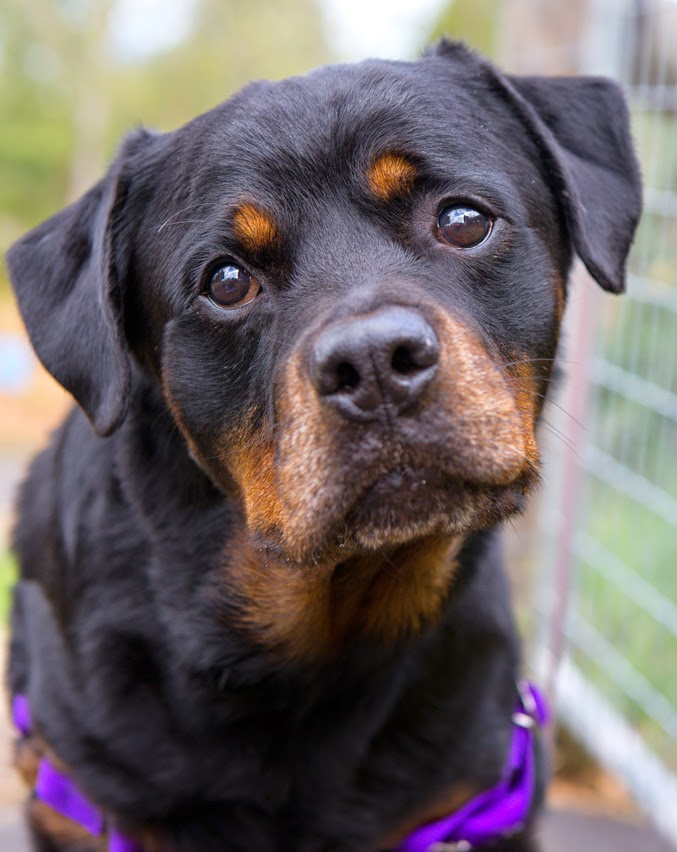 Cool Rottweiler Chubby Adorable Dog - 562639a7  2018_708687  .jpg