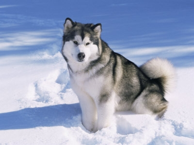 alaskan malamute alaskan malamute is a very friendly dog with a plush ...