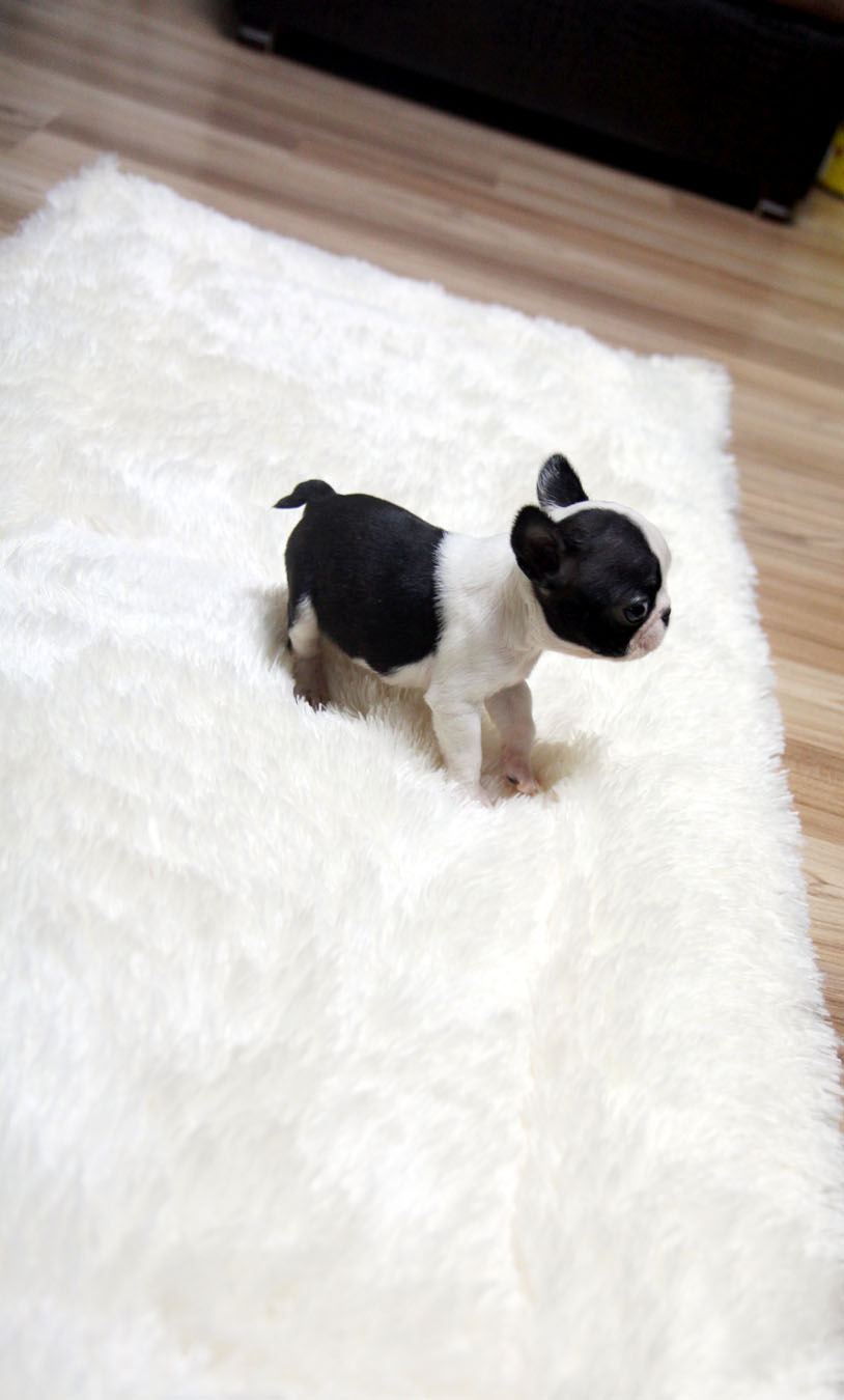 TEACUP PUPPY ☆Teacup puppy for sale☆ French bulldog Bianco