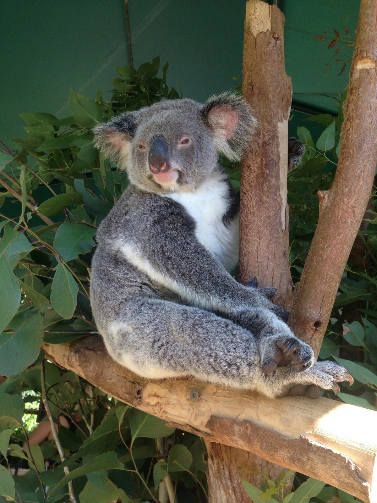 koala streicheln
