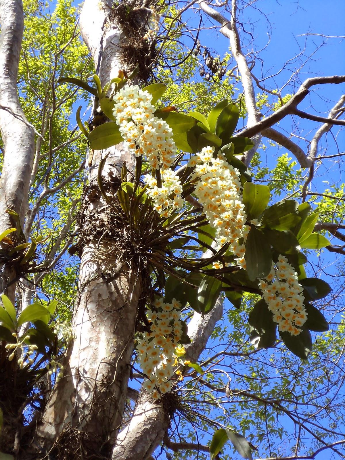 Lan mọc tự nhiên trong rừng đang mùa trổ bông