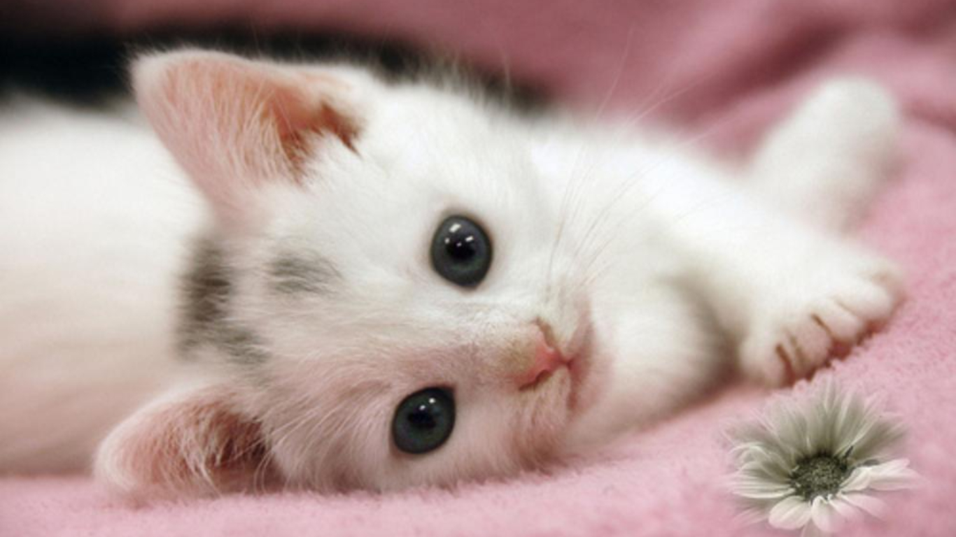 cute white cat wallpaper kitten jpg