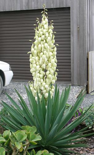 spanish bayonet, yucca plant care, yuccas