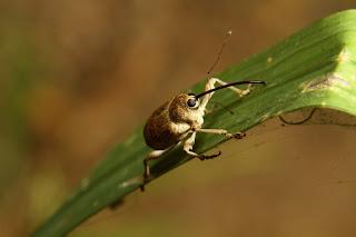 Acorn weevil Curculionoidea
