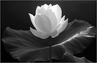white lotus flower against black background