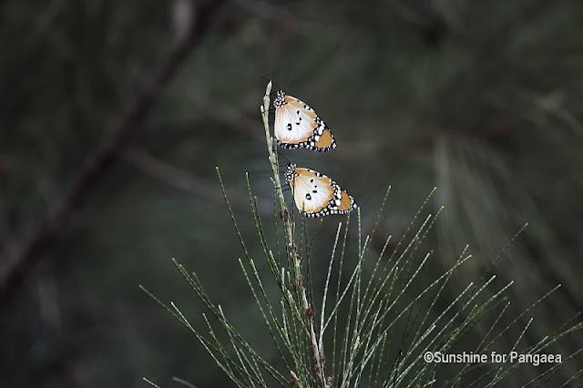 African monarch Danaus chrysippus