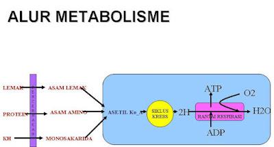 alur metabolisme energi karbohidrat