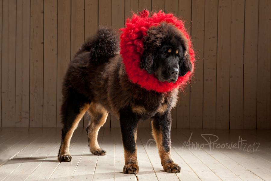 koer-fotostuudios-mastif