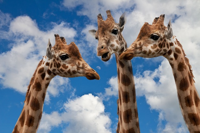 Giraffes Depicting Social Media Socializing