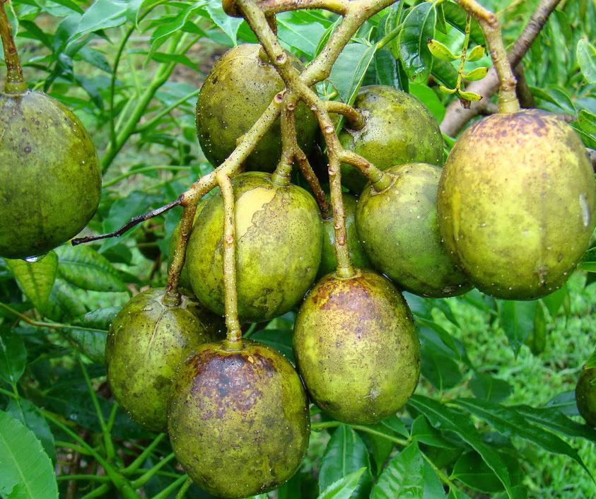 is avocado a fruit dragon eye fruit