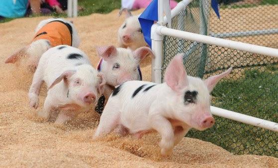 PIG FESTIVAL, PRANCIS