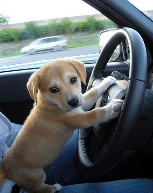 Cute Puppy Driving a Car