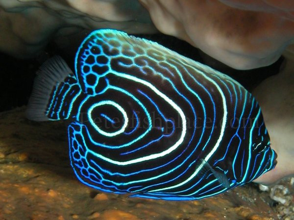 Koran angelfish - photo#11