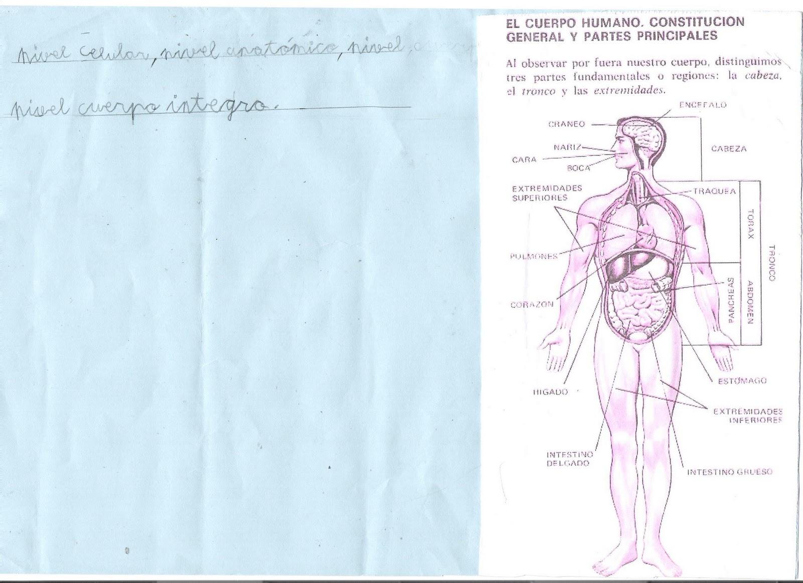 ceip el zargal second grade el cuerpo humano mostafa. Black Bedroom Furniture Sets. Home Design Ideas
