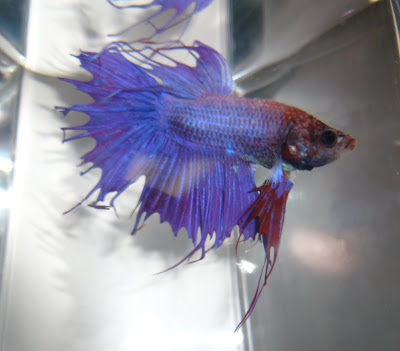 crowntail betta
