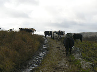 Coming across cows on the path is the sight that I dread the most when out walking