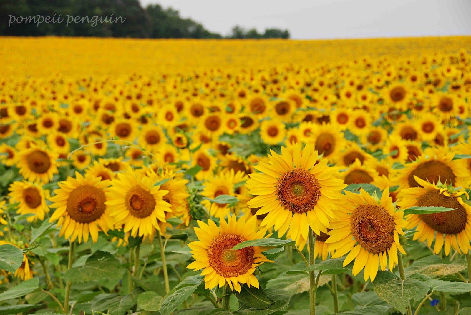 sunflower fields 2 by - photo #46