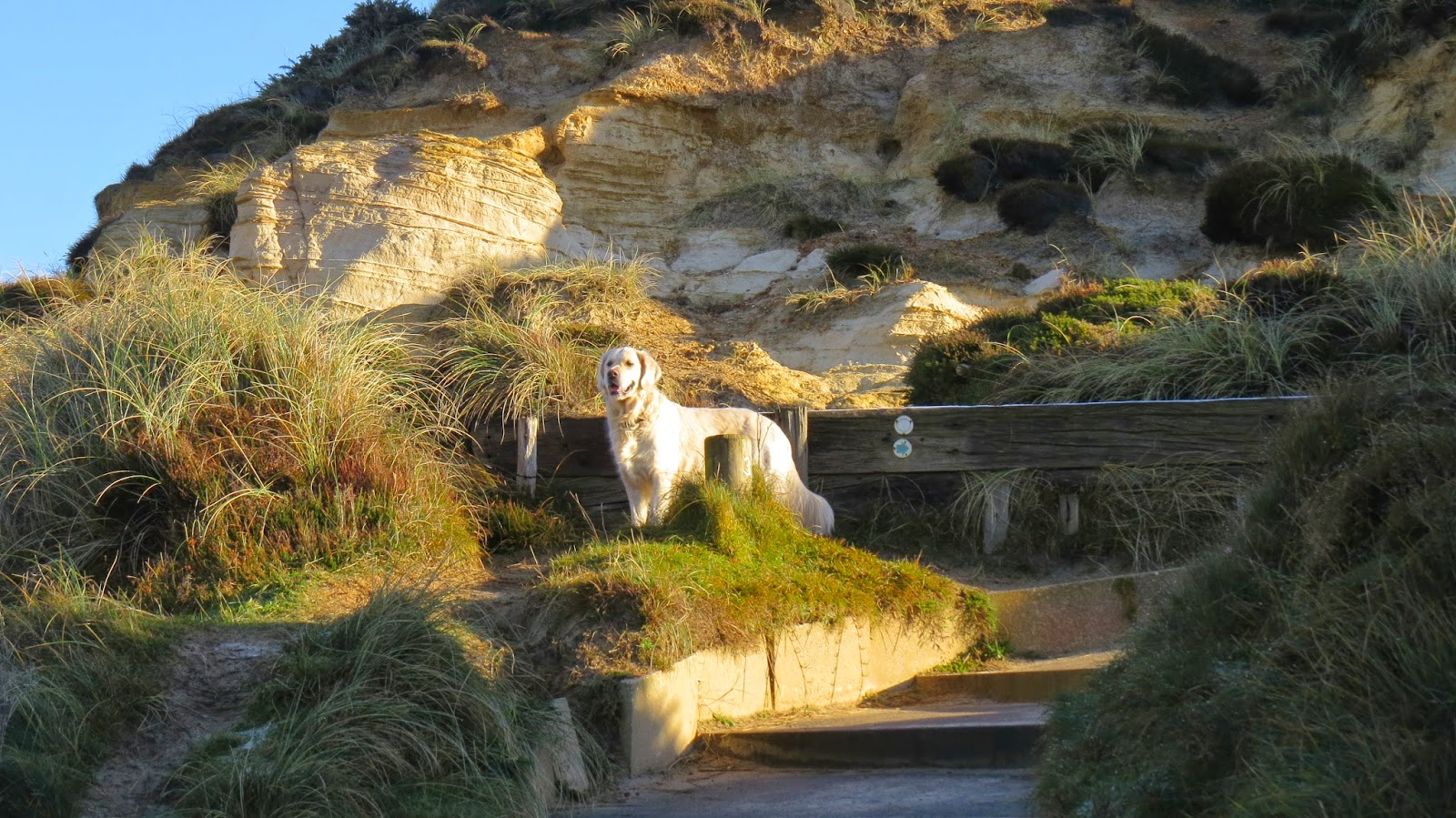 Boris the Golden Retriever at Hengistbury Head on a beautifully sunny day in December