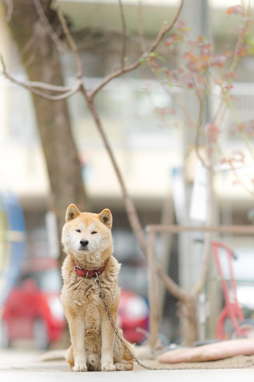 日本犬のスナップ写真