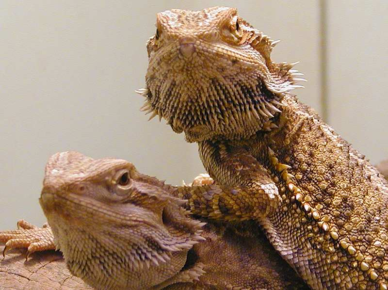 Bearded Dragons  Bearded Dragon Care