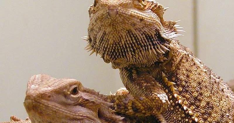bearded lizard life span - 800×420