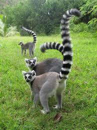 Lemurs images