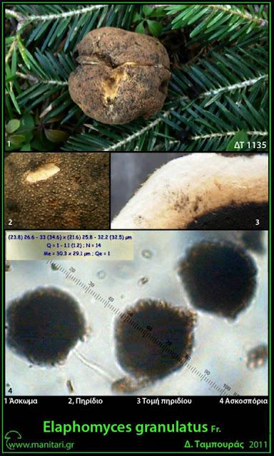 Elaphomyces granulatus Fr.