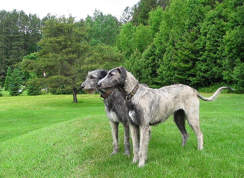 Irish Wolfhound Highly and Big Dogs on Breeders