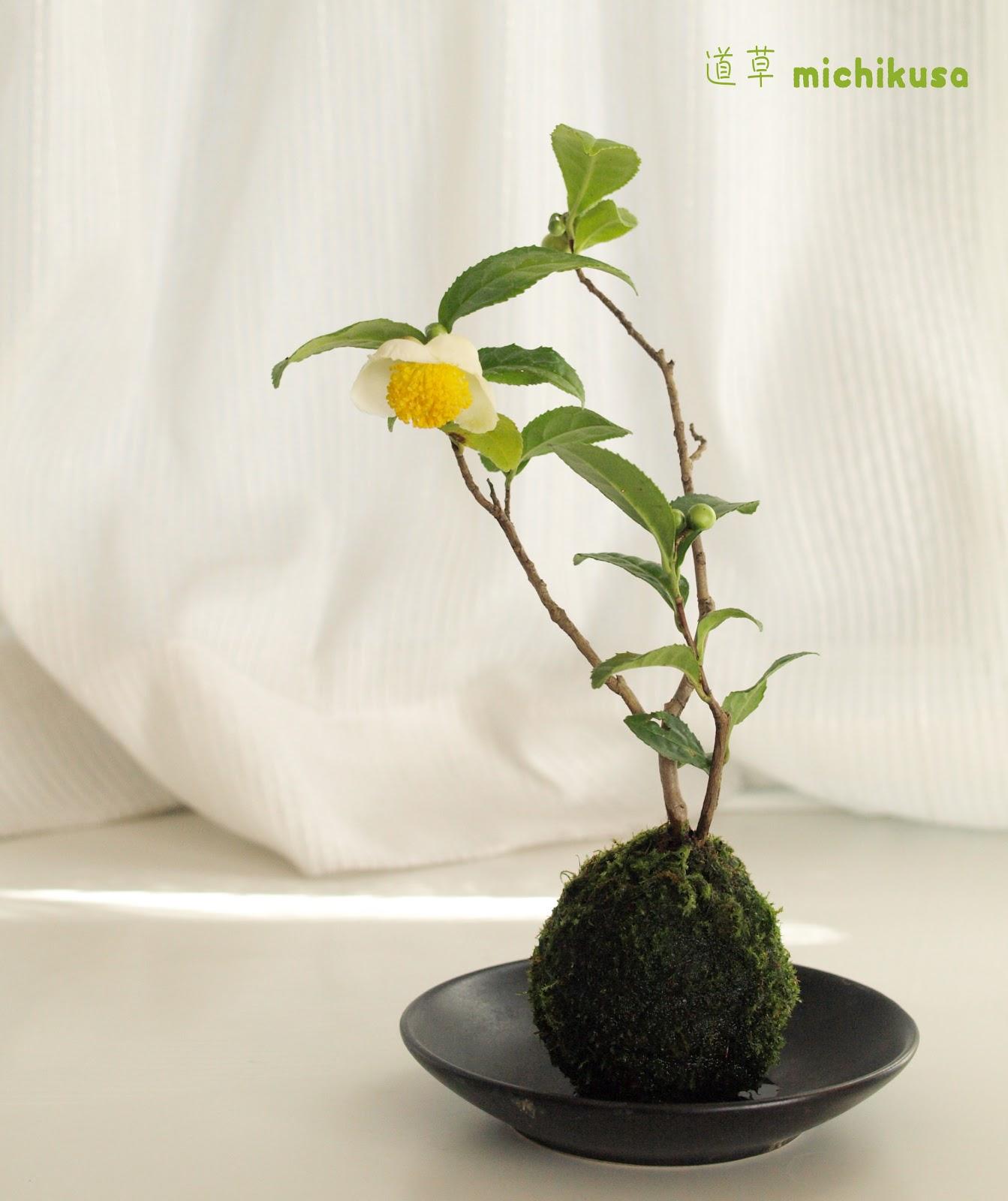 道草 michikusa blog: 茶の木 苔玉