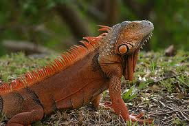 Iguana changing color