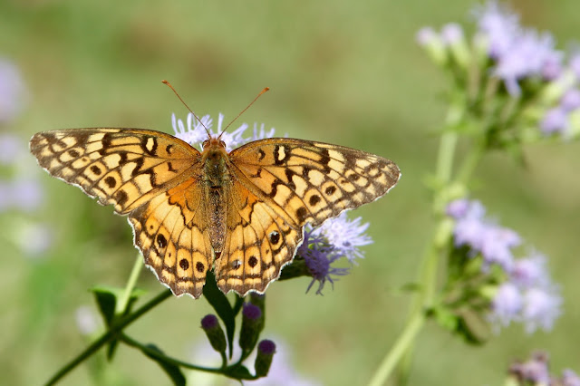 Variegatied Fritillary on Blue Mist Flower-Needville, Texas