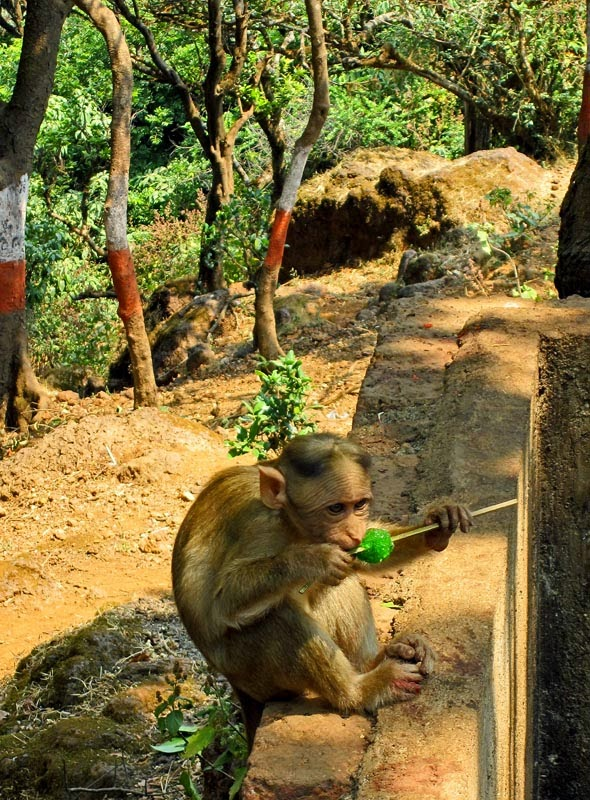 Monkey eating a green gola