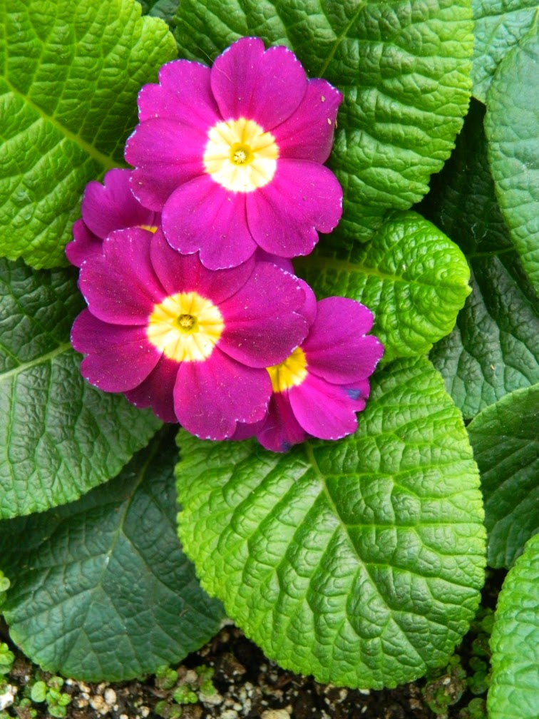 Primula polyanthus Allan Gardens Conservatory Spring Flower Show 2014 by garden muses-not another Toronto gardening blog