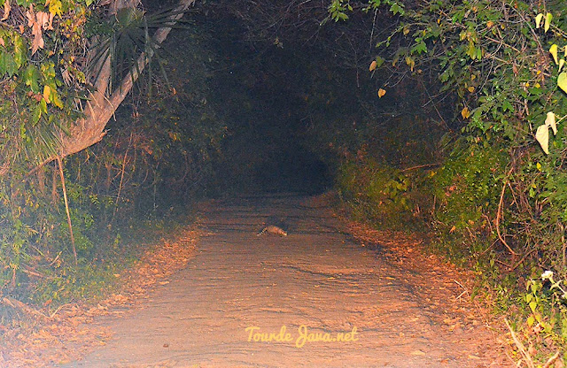 Predator Musang di Baluran
