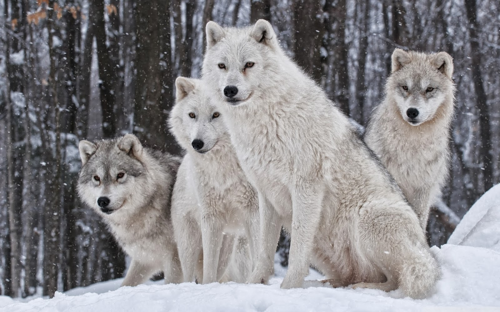 Baby White Wolves Hd wallpapers of white wolves Tiger Eyes Black And White