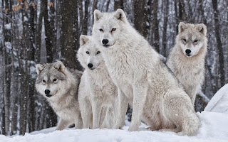 free hd images of white wolves pack 2 for laptop