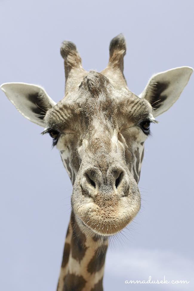 Anna Dusek Photography Giraffe