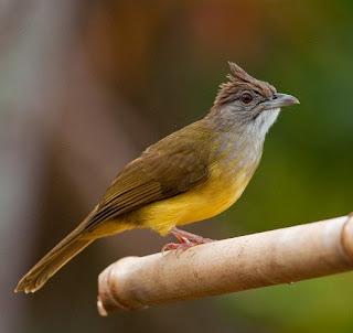 4 jenis burung cucak yang mirip dengan cucak jenggot